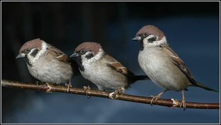 Three sparrows five more minutes with