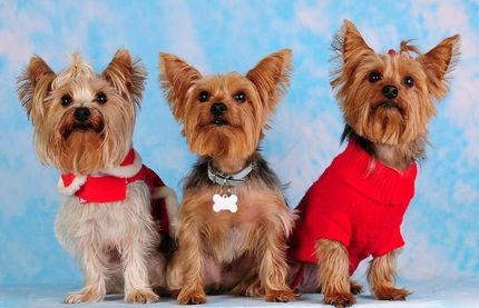 Three yorkies five more minutes with